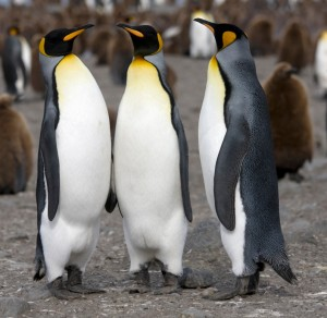 C:\Users\елена\Pictures\Royal_King_Penguin-300x292.jpg