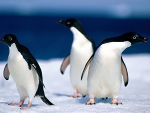 C:\Users\елена\Pictures\adelie_penguins-300x225.jpg